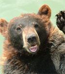Ein Bär mitten in der Stadt fällt natürlich auf