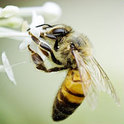 Bienen verfügen über ein ausgeprägtes Gedächtnis