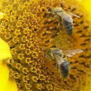Wie wird der Garten bienenfreundlich?