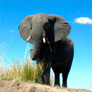Elefant in der Steppe