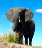 Elefant in der Steppe