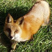 Für Foxfinder William Bloor ist der Fuchs der Todfeind des Menschen