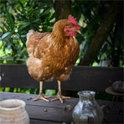 Aus wirtschaftlicher Sicht sind nur die Hennen etwas wert: Sie agieren als Fleischproduzent und Legehennen