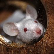 Diese Maus ist besonders intelligent und möchte nach Amerika fliegen