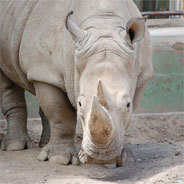 Für die Unterbindung des Nashornhandels wurde schon eine eigene Soko gebildet