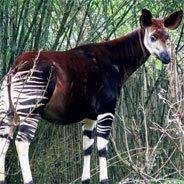 """Das Okapi nimmt in """"Ein Hemd des 20. Jahrhunderts"""" eine tragende Rolle ein"""