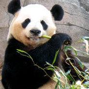 Der Panda Meng Meng wird entführt