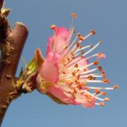 Pfirsichblüten sind ein Sinnbild für Erotik, neue Beziehung und: Krisen