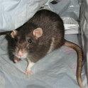 In diesem Western-Hörspiel spielen Ratten die Hauptrolle