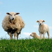 Schafe haben ganz schön viel drauf!