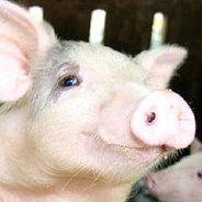 Die Schweine-Utopie von Autorin Gwendoline Soublin.