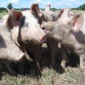 "Das Spekulationsobjekt ""iberico"" Schwein."