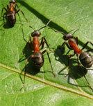 Ameisen auf einem Blatt