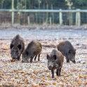 Nachts streift Heinz mit den Wildschweinen durch den Wald