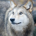 Wom ist ein neugieriges Wolfsmädchen